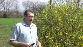 How To Grow Forsythia Bushes For Cut Flower Arrangements