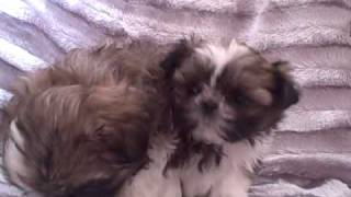Imperial Shih Tzu Compared To A Standard Shih Tzu