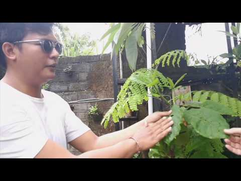 Tarum natural dye in Bali