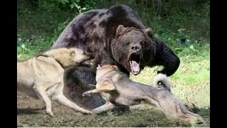 Kangal dog chases off a  bear!!!