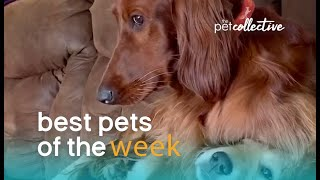 Is This Dog A Bully? | Best Pets of the Week