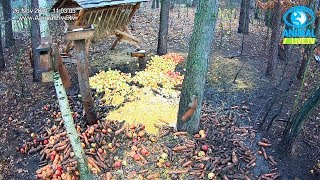 Trzy wiewiórki 🐿️🐿️🐿️ w karmisku w lesie na Podkarpaciu