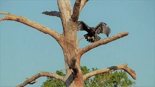 SWFL Eagles_E11's 1st Flight With Fish To Branch & Long Confident Flights For Both 03-24-18 thumbnail