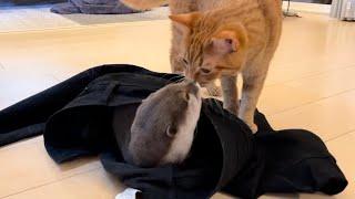 カワウソさくらいつの間にか 飼い主の脱ぎっぱなしズボンの中に住所を移していたカワウソ  otter that has moved into the owner's pants