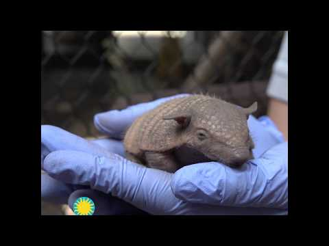 First Screaming Hairy Armadillo Pups Born at the Smithsonian's National Zoo
