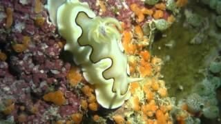 ヤップ島 マンタのポイントでのウミウシ ヤップ島 検索動画 43