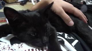 甘えん坊 可愛い黒猫のクロちゃん