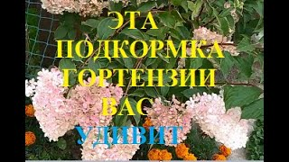 Эта подкормка для шикарного цветения гортензии удивит Она под ногами у всех