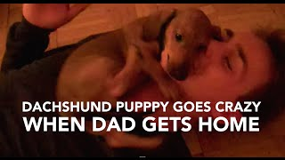 dachshund puppy goes crazy when dad gets home