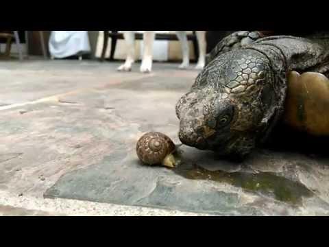 California Desert Tortoise - Snail Attack!