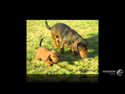 Alpine Dachsbracke Dog breed