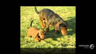 Alpine Dachsbracke Dog breed