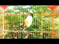 Suara Masteran Cendet Gacor Bongkar Isian  Mp3 - Mp4 Download