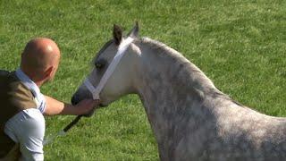 Merlod Myn. Cymreig Caseg Wag 4+|Welsh Mountain Ponies Barren Mare 4+