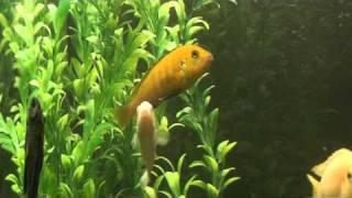 Красивые аквариумные рыбки.MPG
