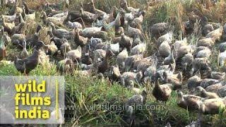 Little duckies in a row - domestic ducks walking in a line