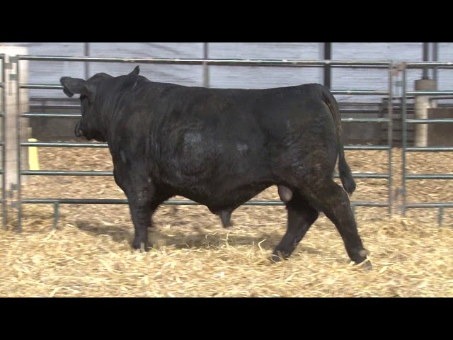 Schiefelbein Angus Farms Lot 233