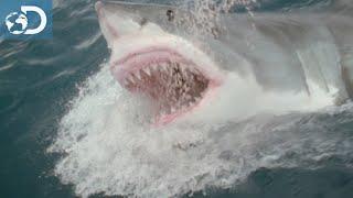 Orques contre requins blancs : Le Mois des Requins