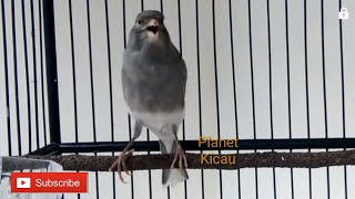 Download lagu MASTERAN KENARI PANDA PALING DI CARI