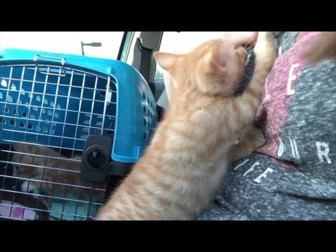 Cinnamon, Nutmeg and Gingersnap get Neutered! Baby Foster Kittens Update!