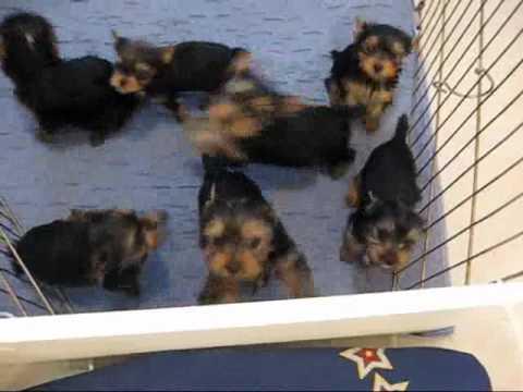 Miracle Yorkies Felicity Yorkie puppies