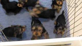Miracle Yorkies Felicity Yorkie Puppies