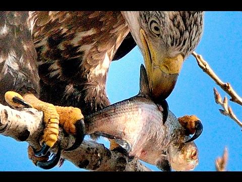 Raptor Eats Fish: American Bald Eagles