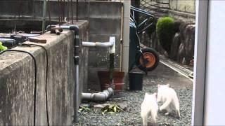 猫の喧嘩動画です! 2匹の争いとなった。とちらが勝つか。