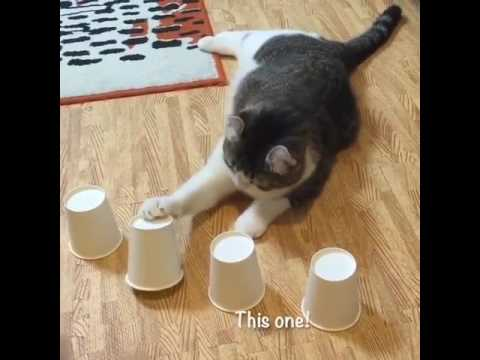 Snow's cup and ball trick compilation | Funny Cat Compilation