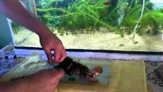 Como plantar musgo de java  e como tratar tronco de goiabeira para botar no aquario