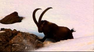 Kozica w Alpach