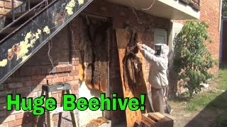 Big Honey Bee colony behind a door