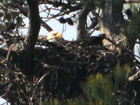 Bald Eagle Nest Near Wildlife Drive at Blackwater NWR - Feb. 2012