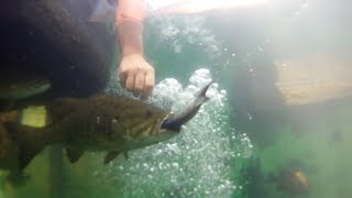 Amazing Lake Aquarium Hand Fed Smallmouth Bass!