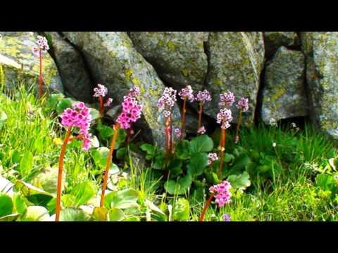 Бадан: лечебные свойства листьев, корневищы и цветов