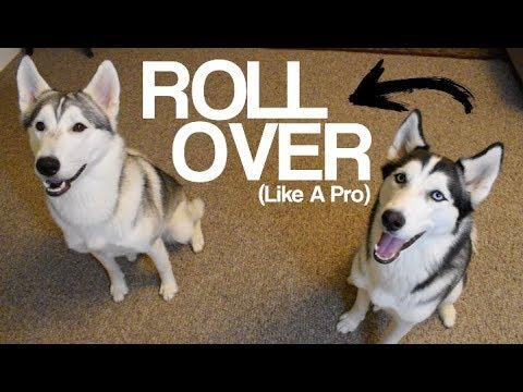 Teach Your Husky To Roll Over! - Siberian Husky Tips And Tricks