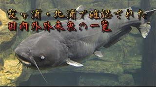 霞ヶ浦・北浦で確認された国内外外来魚の一覧