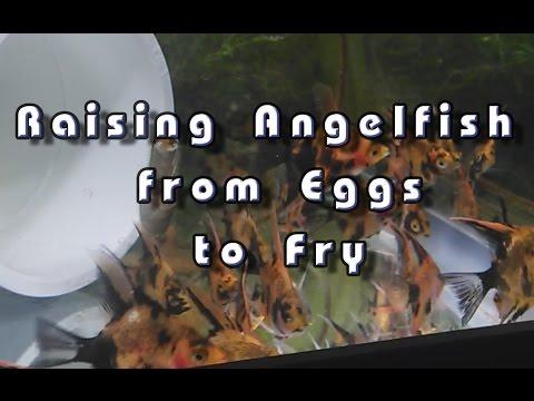 Raising Angelfish From Eggs To Fry..