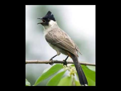 Suara Kicauan burung kutilang mp3 (sooty-headed bulbul)