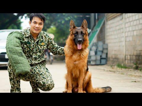Chó becgie đức thuần chủng Phạm Hoàng