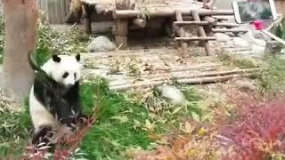 Кунг Фу Панда реально существует (приколы животные, веселые видео, смех, юмор, позитив)