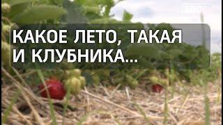 Вмосковском регионе официально стартовал сезон продажи клубники
