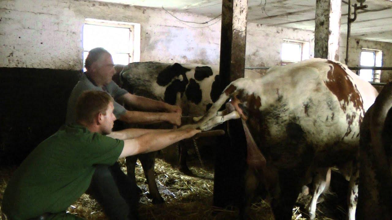 Geburt einer Kuh Benniehausen Juli 2011 - YouTube