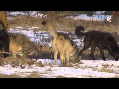 Dernière marche d'un Loup Noir pas comme les autres