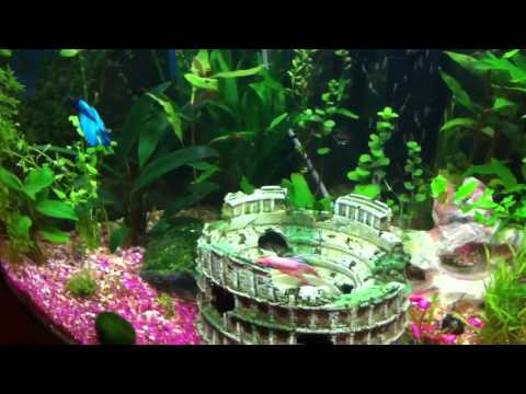 2 male betta fish playing together!