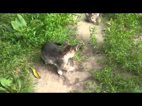 Котята (любителям калифорнийской сияющей кошки)