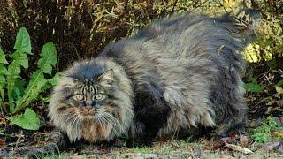 Норвежская Лесная Кошка, Породы кошек, описание, уход