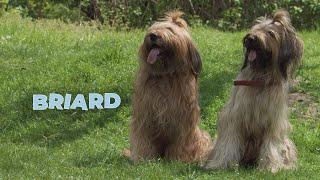 Briard Dog Breed Information 101