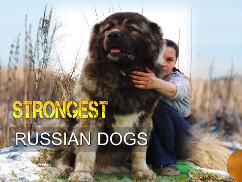 Five Strongest Russian Dogs