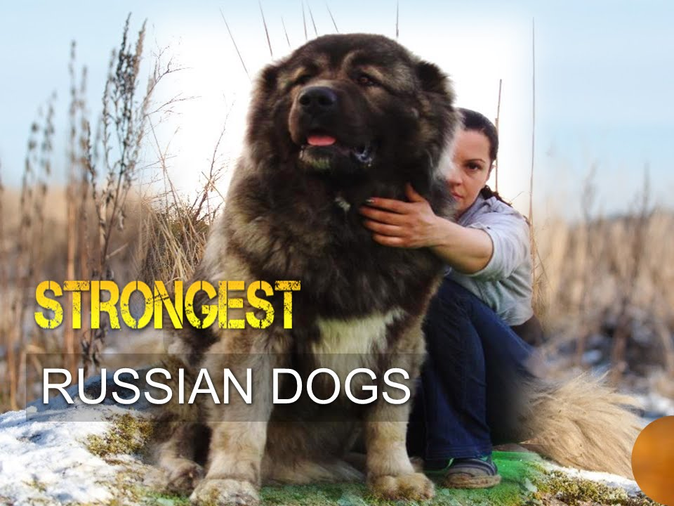 Five Strongest Russian Dogs Youtube